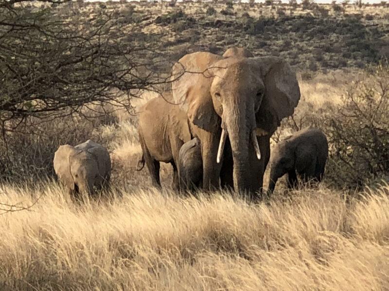 manada de elefantes en la arida sabana