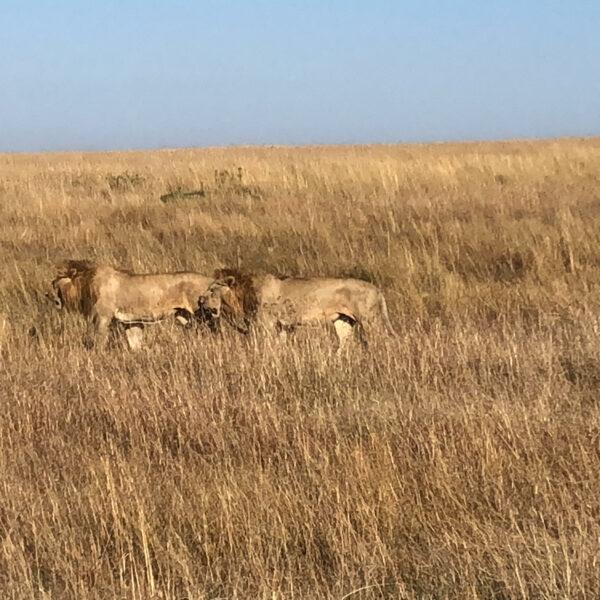 pareja de leones cruzando la sabana