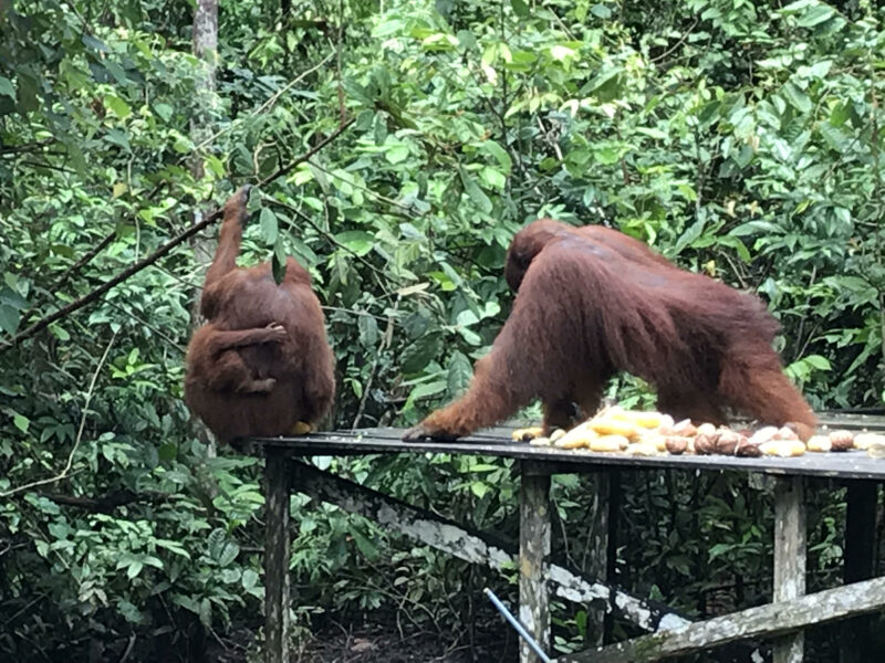 Familia de orangutanes.